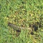 Lawn Army Worm